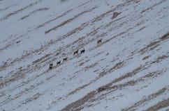 Groep jonge berggeit in de lentedolomiet, Italië Royalty-vrije Stock Afbeeldingen