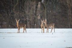 Groep jonge herten in het bos stock afbeeldingen