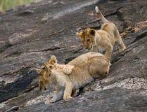 Groep jonge leeuwen op de heuvel Nationaal Park kenia tanzania Masai Mara serengeti Royalty-vrije Stock Afbeeldingen