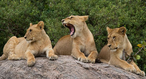 Groep jonge leeuwen op de heuvel Nationaal Park kenia tanzania Masai Mara serengeti Stock Fotografie
