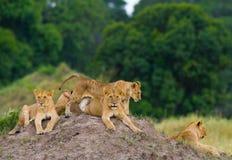 Groep jonge leeuwen op de heuvel Nationaal Park kenia tanzania Masai Mara serengeti Stock Foto's