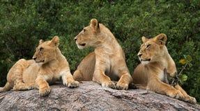 Groep jonge leeuwen op de heuvel Nationaal Park kenia tanzania Masai Mara serengeti Royalty-vrije Stock Afbeelding