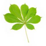 Groep kastanje groene bladeren stock afbeelding
