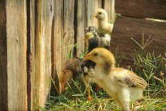 Groep kleine kippen Stock Foto