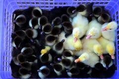 Groep kleine zwarte en gele eendjes in de mand Stock Fotografie