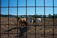 Groep koeien royalty-vrije stock afbeelding
