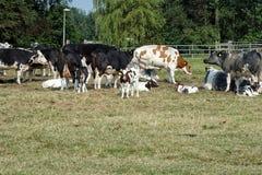 Groep koeien stock foto