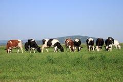 Groep koeien het weiden Stock Afbeelding