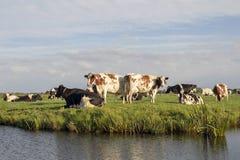 Groep koeien op de rand van een sloot, in een typisch Nederlands landschap met wolken op de horizon royalty-vrije stock fotografie