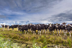 Groep Koeien op een Gebied Stock Fotografie