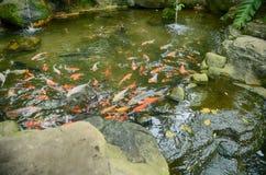 Groep Koi Fish met rode, oranje, witte en gele kleur die in tuinpool zwemmen Royalty-vrije Stock Afbeelding