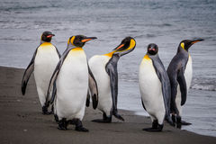 Groep Koning Penguins op de rand van het water in St Andrews Bay, Zuid-Georgië Stock Foto