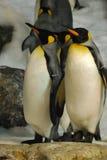 Groep Koning Penguins Standing Together Royalty-vrije Stock Fotografie