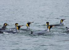 Groep Koning Penguins Swimming in de Oceaan stock afbeeldingen