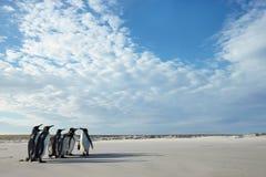 Groep Koningspinguïnen op een zandig strand in Falkland Eilanden royalty-vrije stock foto