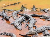 Groep krokodillen Stock Foto