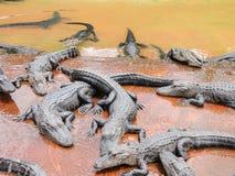 Groep krokodillen Royalty-vrije Stock Afbeeldingen