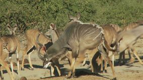 Groep kudu stock video