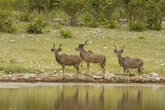 Groep Kudu Royalty-vrije Stock Afbeelding