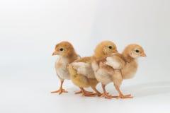 Groep Kuiken, Rhode Island Red Chicken stock fotografie