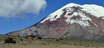 Groep lama's op zijn natuurlijke habitat royalty-vrije stock fotografie