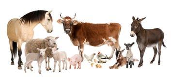 Groep landbouwbedrijfdieren: koe, schapen, paard, ezel, Stock Afbeelding