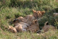 Groep leeuwen Stock Afbeelding