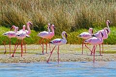 Groep Lesser Flamingo-vogels stock foto