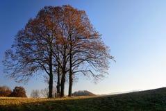 Groep lindeboom royalty-vrije stock fotografie