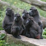 Groep macaques op rots Royalty-vrije Stock Afbeelding