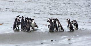 Groep Magellanic-pinguïnen op de kust van de oceaan in Patagonië, Chili stock fotografie