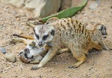 Groep meerkats Royalty-vrije Stock Fotografie