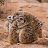 Groep meerkats het koesteren royalty-vrije stock afbeeldingen
