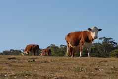 Groep melkkoeien het weiden Royalty-vrije Stock Afbeeldingen