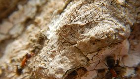 Groep Mieren op houten Dichte Omhooggaand Rode houten mieren stock footage