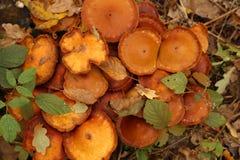 Groep mooie paddestoel in een bos Stock Foto's