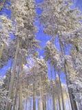 Groep nette bomen in de winter Stock Fotografie