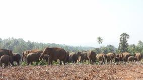 Groep olifanten stock video