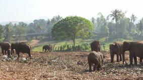 Groep olifanten stock footage