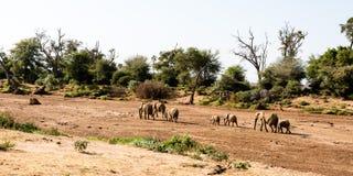 Groep olifanten in een droog rivierbed Stock Afbeeldingen