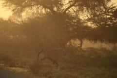 Groep oryx in Namibië Stock Afbeeldingen