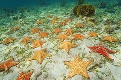 Groep overzeese van het zeesterkussen ster op overzeese bodem Stock Foto