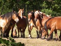 Groep paarden Stock Afbeelding