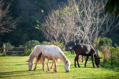 Groep paarden die gras in groen landbouwbedrijf eten Stock Afbeeldingen
