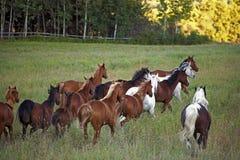 Groep Paarden het lopen Royalty-vrije Stock Afbeelding