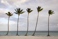 Groep palm op strand in de Dominicaanse Republiek stock foto's