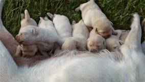 Groep pasgeboren puppy die melk van wijfje zuigen stock video