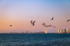 Groep pelikanen die op het strand bij zonsondergang vliegen - Puerto Vallarta, Jalisco, Mexico Stock Afbeeldingen