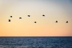 Groep pelikanen die op het strand bij zonsondergang vliegen - Puerto Vallarta, Jalisco, Mexico Stock Foto