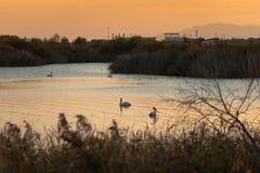 Groep pelikanen die in Vistonida-meer, Rodopi, Griekenland tijdens zonsondergang zwemmen royalty-vrije stock afbeeldingen